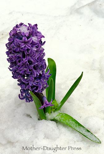 Purple hyacinth, Hyacinthus orientalis,  coming through spring snow