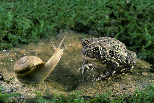 Fowlers toad, Bufo woodhousei fowleri, making first contact with alert snail