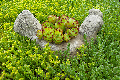 Hens and chicks sedum planter in garden, Yarmouth ME