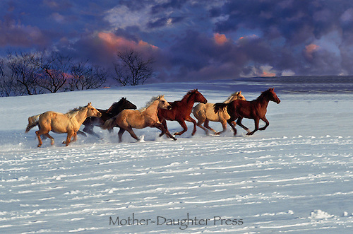 Quarter horses running in the snow in alternating colors and free in their large land, Columbia mo