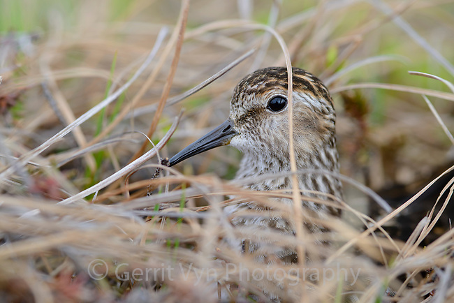 Least Sandpiper (Calidris minutilla) peering through sedges while incubating a nest. Yukon Delta National Wildlife Refuge. May.