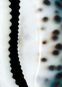 porcelaine tigre