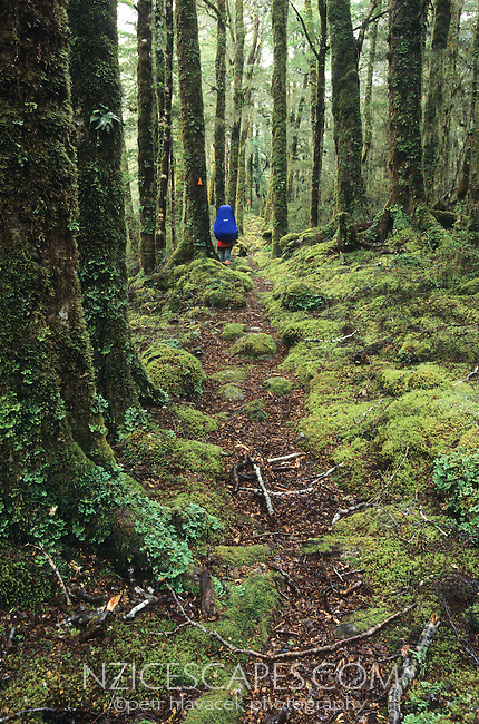 A tramper on a track through the beautifully green bush near Stone Hut on the Wangapeka Track - Kahurangi National Park