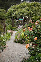 Gravel pathway in cottage garden under small fruit tree with Rose 'Country Lady' (rt.foreground). Sally Robertson Garden.