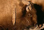 Bison, Yellowstone National Park, Wyoming, USA