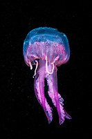 Mauve Stinger Jellyfish, Pelagia noctiluca, Cap de Creus, Costa Brava, Spain, Mediterranean Sea, Atlantic