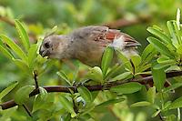 Juvenile Cardinal licking drops of moisture from a firethorn shrub..