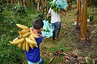 ARMENIA - COLOMBIA, 26-05-2021: Emilio Millán colabora a un cortador de plátano a llevar los últimos racimos que quedan en la finca La Máquina. A más de un mes del inicio del Paro Nacional, los campesinos han tenido que reinventar la forma para mantener sus cultivos y criaderos activos para minimizar las pérdidas por los bloqueos que aún se mantienen en las vías. Según cifras del Ministerio de Hacienda, las pérdidas diarias están en un monto de $480.000 millones de pesos colombianos, lo cual sumando la totalidad de los días del Paro Nacional, suman un total de $10,8 billones de pesos colombianos. / Emilio Millán helps a banana cutter carry the last remaining bunches of bananas from La Máquina farm. More than a month after the beginning of the National Strike, farmers have had to reinvent the way to keep their crops and farms active in order to minimize losses due to the blockades that still remain on the roads. According to figures from the Ministry of Finance, daily losses are in the amount of $480,000 million Colombian pesos, which adding the total number of days of the National Strike, add up to a total of $10.8 billion Colombian pesos. Photo: VizzorImage / Santiago Castro / Cont
