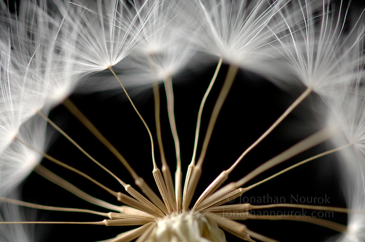 close-up of a dandelion seed head - commercial/editorial licensing for this image is available through: http://www.gettyimages.com/detail/200280222-001