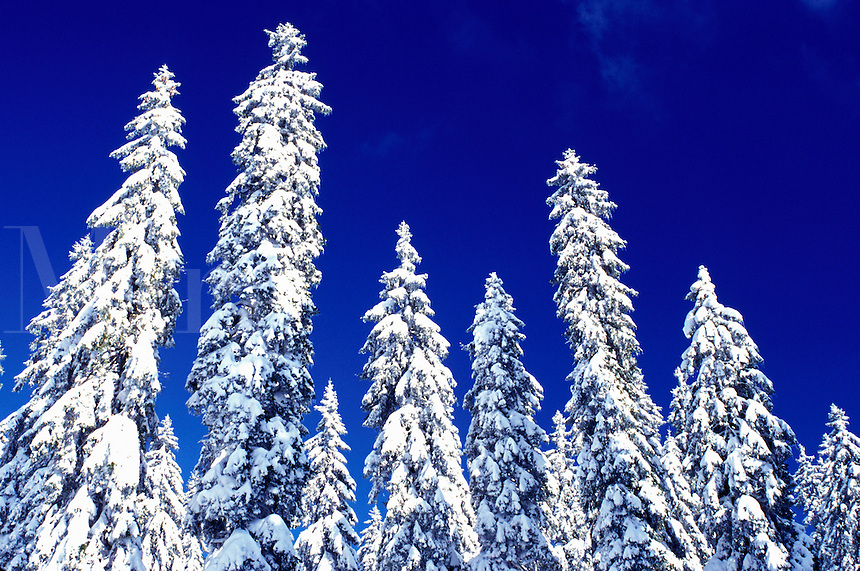 snow, pine trees, winter, Switzerland, Vaud, Jura Mountains, Europe, Evergreen trees covered with snow in the winter in the Jura Mountains.
