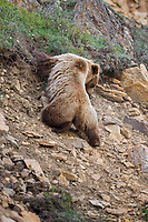 Grizzly bear descends a rocky slope in Denali National Park, interior, Aalska.