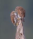Sibling owls tender moment by Wayne Duke