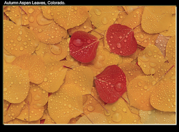 Pattern of autumn Aspens leaves with waterdrops. John offers autumn photo tours throughout Colorado. .  John offers private photo tours and workshops throughout Colorado. Year-round.