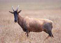 The hartebeest and the topi share a unique facial appearance among Tanzania's antelope species.