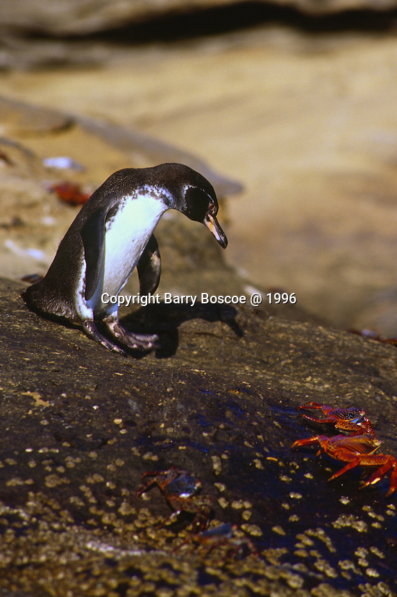 Galapagos penguins are the smallest and most northerly of the warm weather penguins.  Seen here with a Sally Lightfoot  crab.  Galapagos, Equador
