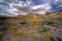 Spring flowers bloom at Wahweap Creek near Big Water, Utah