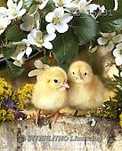 Interlitho, EASTER, OSTERN, PASCUA, photos+++++,chicks,white flowers,KL16431,#e# easter chicks