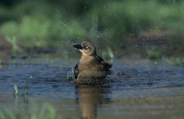 Great-tailed Grackle, Quiscalus mexicanus,female bathing, New Braunfels, Texas, USA, April 2001
