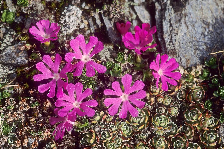 Zwerg-Schlüsselblume, Zwergschlüsselblume, Schlüsselblume, Zwergprimel, Zwerg-Primel, Primel, Primula minima, Fairy Primrose