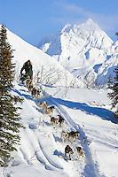 Ed Itens team mushes down embankment to Puntilla Lake outside Rainy Pass Chkpt 2006 Iditarod AK