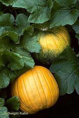 HS24-088b  Pumpkin - growing in garden - Connecticut Field variety