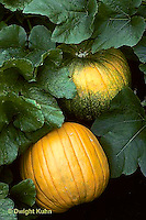 HS24-088b  Pumpkin - growing in garden - Connecticut Field variety