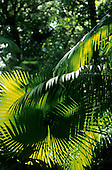 Amapa, Brazil. Lush green vegetation in the Amazon rain forest; palm fronds in the sunlight. Santa Clara.
