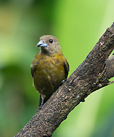 Female Passerini's Tanager, Ramphocelus passerinii, perched on a branch in Sarapiquí, Costa Rica