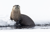 We had a few nice otter sightings, both in the park interior and the northern range, during these trips.