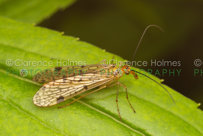 Female Common Scorpionfly (Panorpa sp.) in the nebulosa species group.