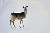 Roe Deer (Capreolus capreolus), adult in snow, St. Moritz, Switzerland, December 2007