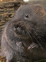 Schermaus, Ostschermaus, Ost-Schermaus, Große Wühlmaus, Arvicola terrestris, Arvicola amphibius, Northern water vole, Campagnol aquatique ou Rat taupier