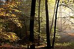 Europa, DEU, Deutschland, Baden-Wuerttemberg, Odenwald, Neckarkatzenbach, Herbst, Morgenstimmung, Wald, Laubwald, Nebel, Dunst, Sonnenstrahlen, Kategorien und Themen, Natur, Umwelt, Landschaft, Jahreszeiten, Stimmungen, Landschaftsfotografie, Landschaften, Landschaftsphoto, Landschaftsphotographie, Wetter, Himmel, Wolken, Wolkenkunde, Wetterbeobachtung, Wetterelemente, Wetterlage, Wetterkunde, Witterung, Witterungsbedingungen, Wettererscheinungen, Meteorologie, Bauernregeln, Wettervorhersage, Wolkenfotografie, Wetterphaenomene, Wolkenklassifikation, Wolkenbilder, Wolkenfoto....[Fuer die Nutzung gelten die jeweils gueltigen Allgemeinen Liefer-und Geschaeftsbedingungen. Nutzung nur gegen Verwendungsmeldung und Nachweis. Download der AGB unter http://www.image-box.com oder werden auf Anfrage zugesendet. Freigabe ist vorher erforderlich. Jede Nutzung des Fotos ist honorarpflichtig gemaess derzeit gueltiger MFM Liste - Kontakt, Uwe Schmid-Fotografie, Duisburg, Tel. (+49).2065.677997, fotofinder@image-box.com, www.image-box.com]