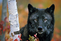 Black Gray Wolf (Canis lupus)