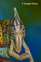 CH51-655z  Male Veiled Chameleon in display color,  Chamaeleo calyptratus