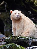 "Kermode ""Spirit"" Bear sitting on a mossy rock along a river"