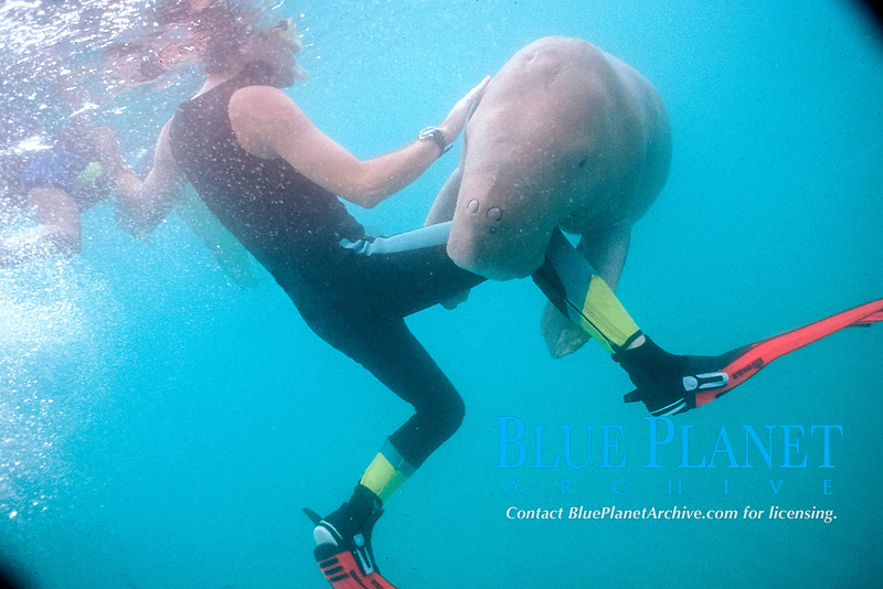 aggressive dugong or sea cow, Dugong dugon, holds on to diver's leg, Tanna Is., Vanuatu (S. Pacific Ocean)