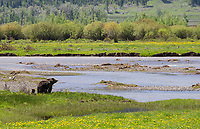 A grizzly sow with two cubs of the year crossed the floor of the Lamar Valley on this day.