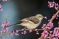 Northern Mockingbird (Mimus polyglottos), Dinero, Lake Corpus Christi, South Texas, USA