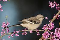 Northern Mockingbird (Mimus polyglottos), Dinero, Lake Corpus Christi, South Texas, USA