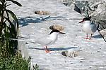 Roseate terns standing on cement wall on Bird Island, Marion, Massaachusetts, 2 shot.