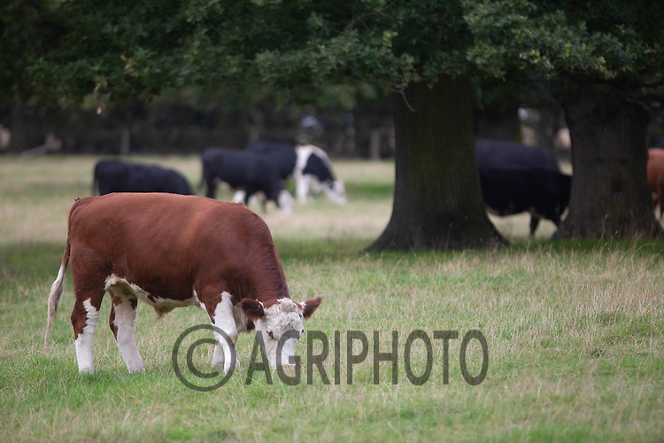 7.9.2020 Beef cattle grazing in parkland<br /> ©Tim Scrivener Photographer 07850 303986<br />      ....Covering Agriculture In The UK.