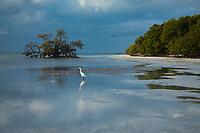 Snowy Egret, (Egretta Thula), White Heron Birds, Anne's Beach Park, Matecumbe Key, Florida Keys