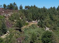 Apiary on the heath near Villefort in Lozère. Beekeeper Pierre de la Rue de Can, Miellerie de Vielvic.<br /> Rucher sur la bruyère callune près de Villefort en Lozère. Apiculteur, Pierre de la Rue de Can, Miellerie de Vielvic. Fr