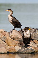 Pair of Double Crested Cormorants sitting on a rocky island in a small lake