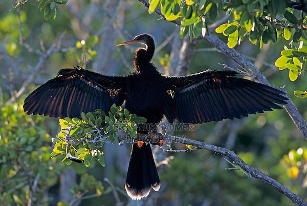 Anhinga, Anhinga anhinga, male calling and drying wings on mangrove tree, Ding Darling National Wildlife Refuge, Sanibel Island, Florida, USA