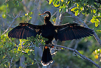 Anhinga, Anhinga anhinga, male calling and drying wings on mangrove tree, Ding Darling National Wildlife Refuge, Sanibel Island, Florida, USA