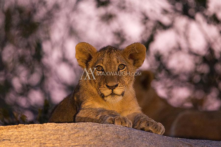 A lion cub lit by a spotlight during an evening drive at MalaMala.