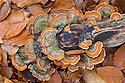 Turkeytail fungus (Trametes / Coriolus versicolor) growing on dead beech tree stump. Plitvice Lakes National Park, Croatia. October.