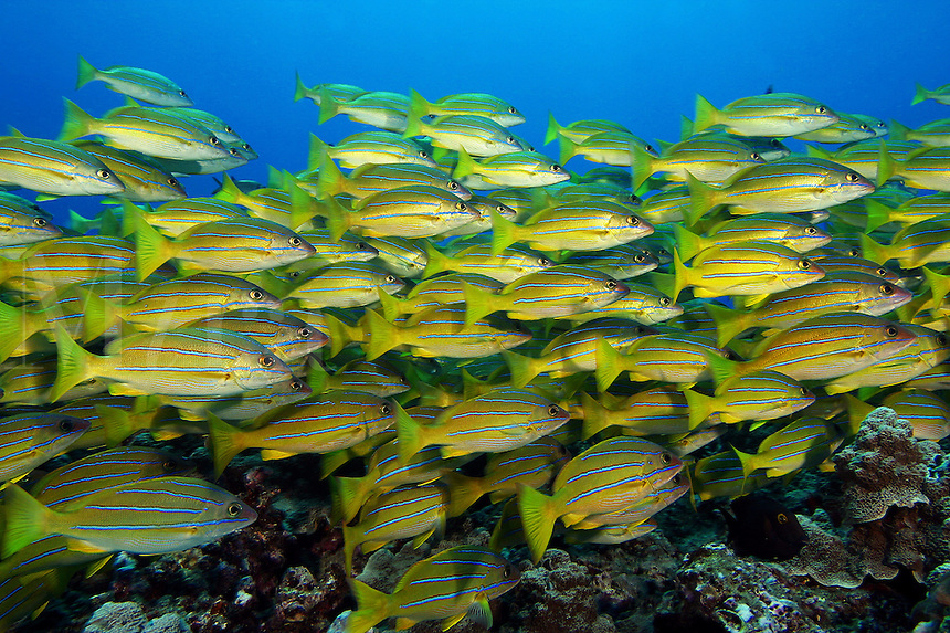 Bluestripe snapper Lutjanus kasmira were introduced to Hawaii?s reefs by man in the 1950?s. They have since become the most successful of these transplants, and likely displace, and certainly compete, with species that have naturally occoured here. Hawaii.<br />